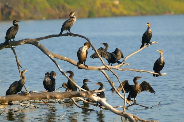 Cormorants on Branches in Creswell