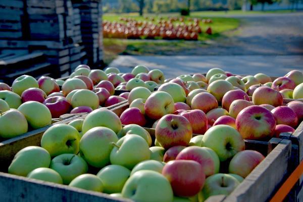 Fall Festival at Cooks Apple Farm