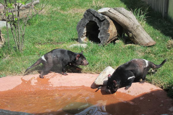 Fort Wayne Children's Zoo Tasmanian Devils