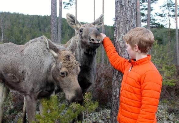 Elgtun, Landeskogen - Ontmoeting met een eland