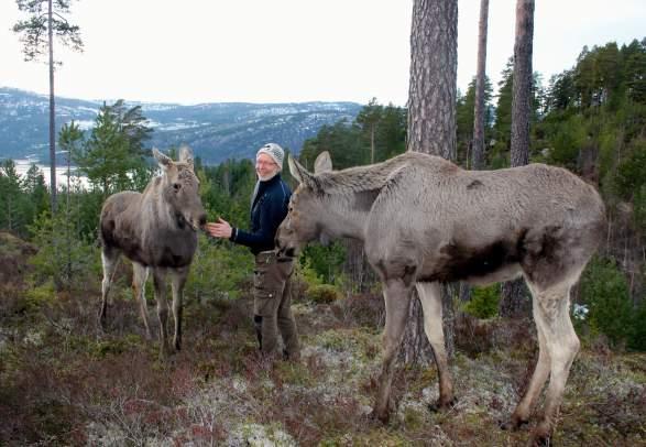 Elgtun på Landeskogen - nærkontakt med skogens konge