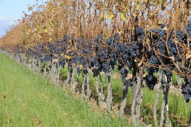 Vines full of grapes