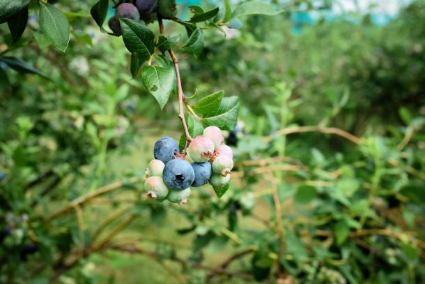 Kusterman's berries