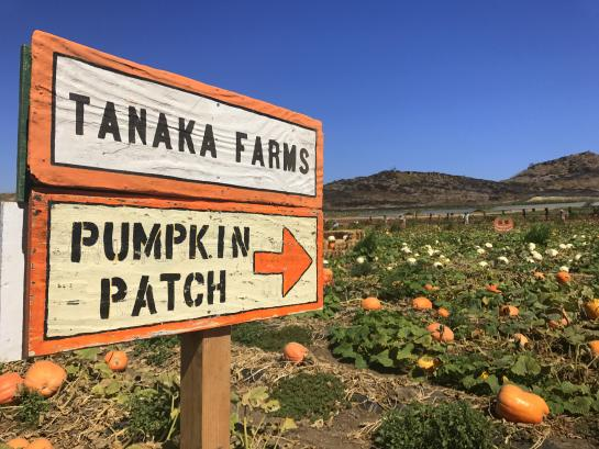Tanaka Farms Pumpkin Patch sign