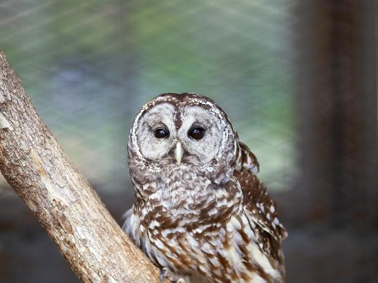 Owl | credit AB-PHOTOGRAPHY.US
