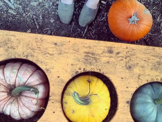 Pumpkins + squash in the price sizer | credit Kristi Ostrowski