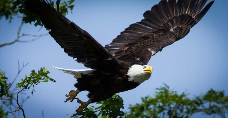 Copy of Eagle