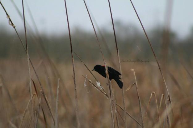 Red-winged Blackbird Creole Nature Trail Photo Story | Time and Beauty Photography