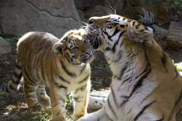 denver-zoo-tiger-cub