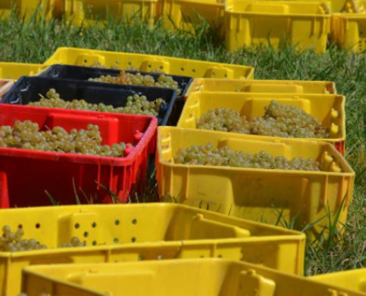 Weathered Vineyards - grapes harvest
