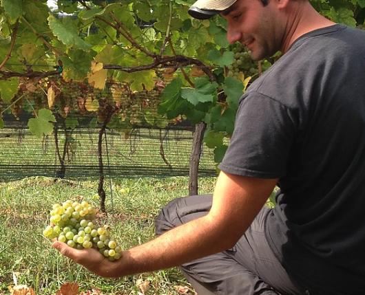 Weathered Vineyards - picking grapes