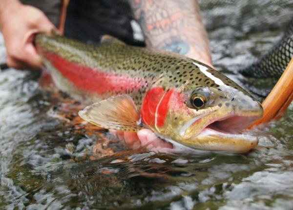 Fall rainbow trout - Blog use only