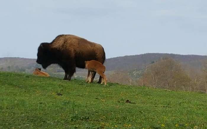 Mud Creek Bison Ranch 3