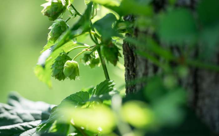 Hops at Abandon Brewing
