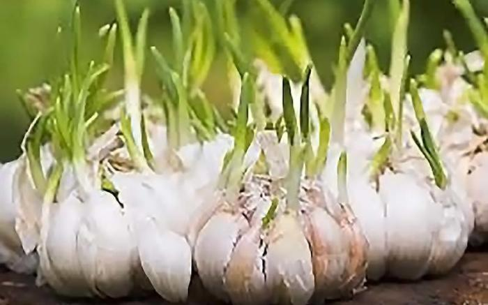 Faranda Garlic Fest