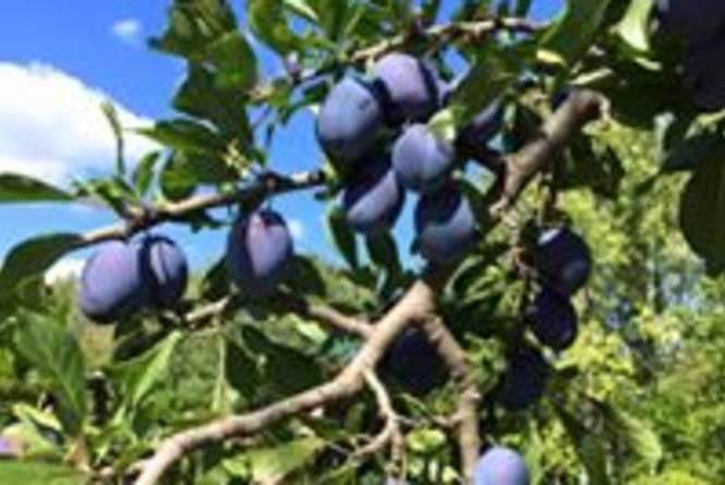 Buchan's Blueberry Hill