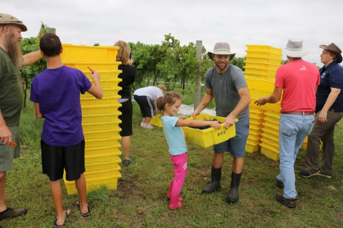 Community gathers to for emergency grape harvest at Grace Hill Winery in Whitewater KS