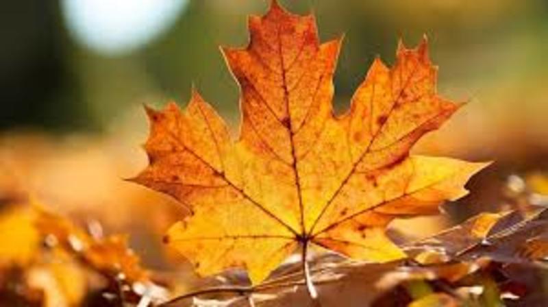 Woldumar leaf