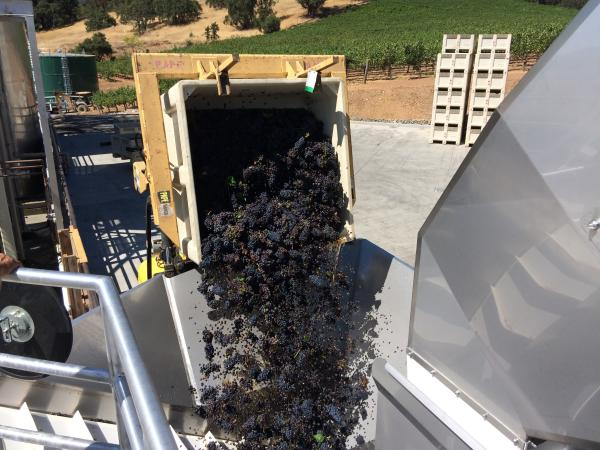 Grape Harvest, Kenwood Vineyards