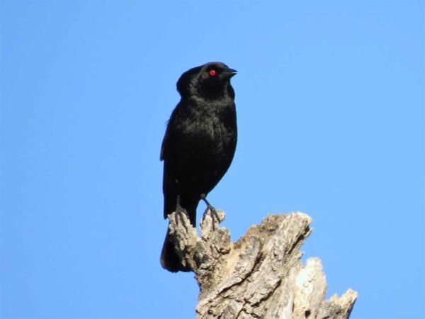 Birding-Bronzed Cowbird