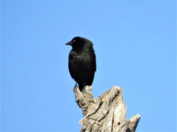 BronzeCowbird-2