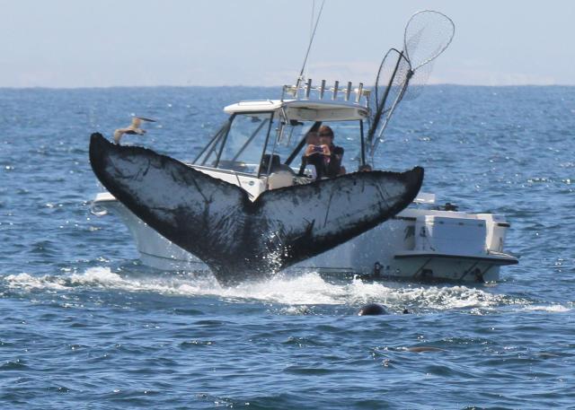 Surprise! Humpback Whale diving - Monterey CA 2014