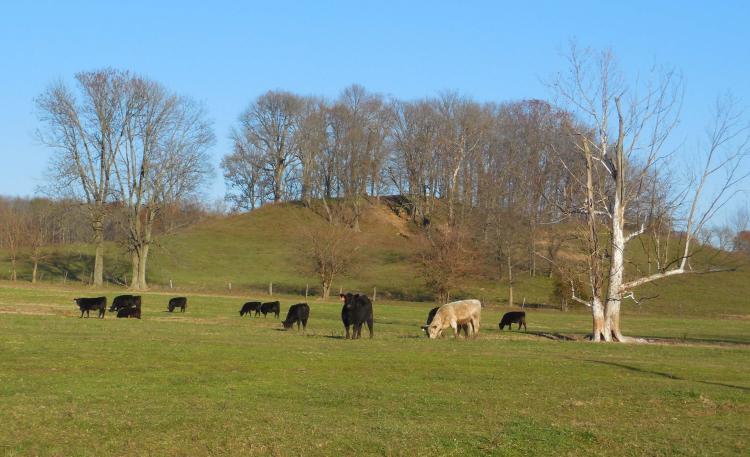 Cattle graze peacefully on Cramertown Loop.