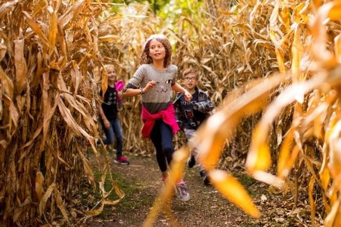 Chidlren racing through the corn maze at Lincoln Park Zoo Fall Fest