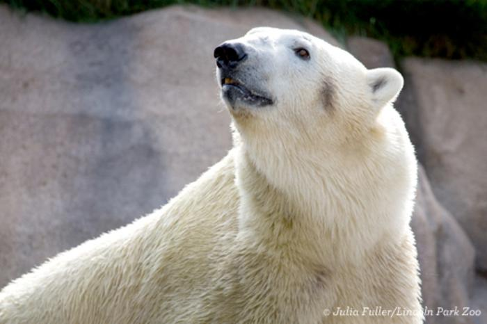 Polar Bear at Lincoln Park Zoo in Chicago