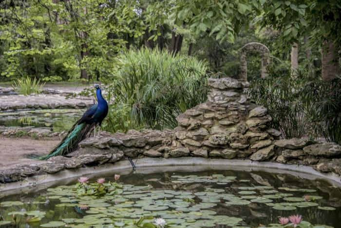 Peacock and Swamp pool at Mayfield park and preserve in Austin Texas
