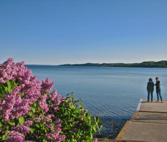 Lilacs in flower at Leffingwell Point