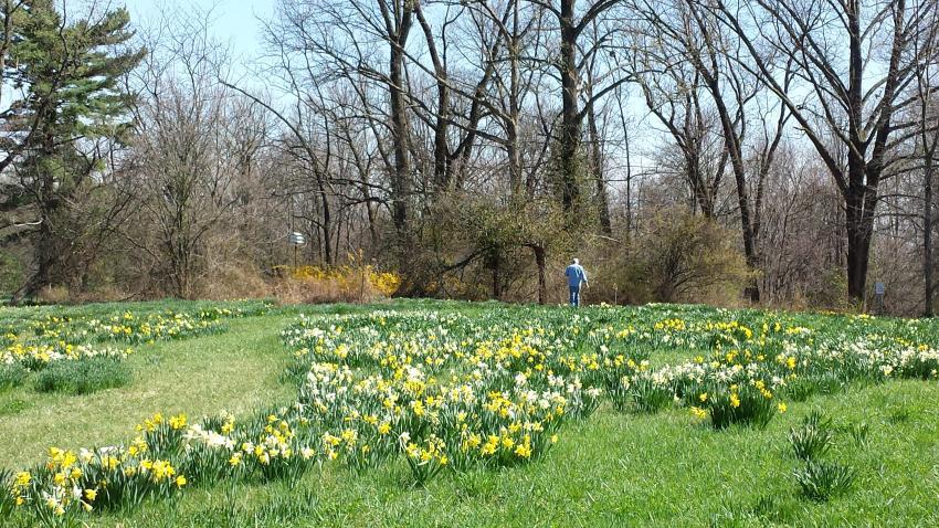 Daffodil field at Link Observatory