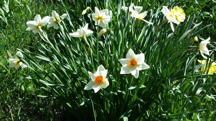 Orange & White Daffodils at Link Observatory