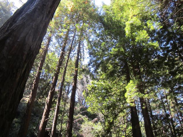 Limekiln redwoods Big Sur