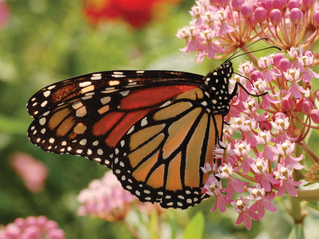 PG Butterfly