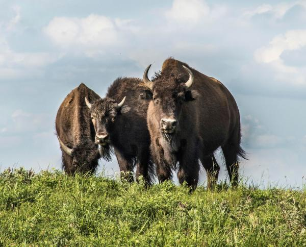 Three bison at Maxwell Wildlife Refuge