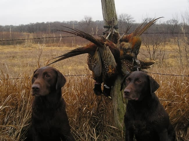Labrador Retrievers Sitting by the catch