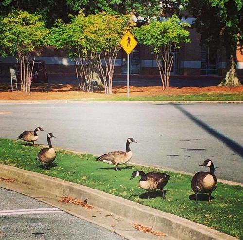 Dunwoody Geese