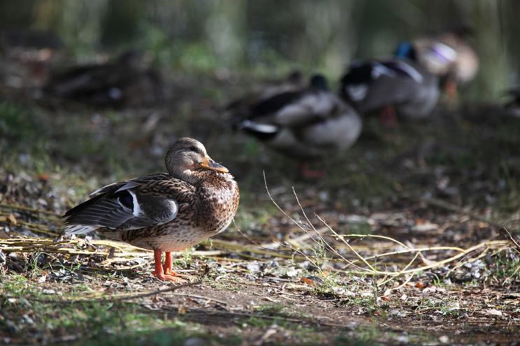 Ducks at Chichester Park