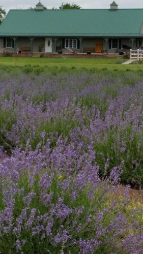 Gertie's Lavender Farm - Burrton, KS
