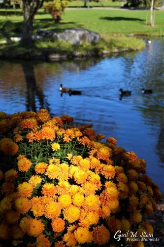 Pond in Congress Park with mums highlighted by the sun