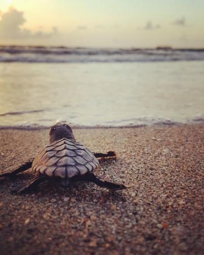 Sea Turtle  Jennifer Andrighetti