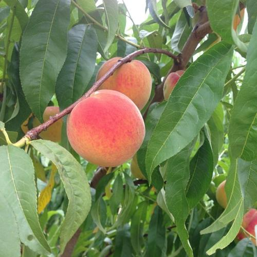 Gieringers Orchard Peaches - Edgerton, KS