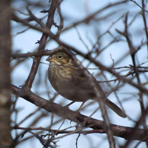 Vesper Sparrow in Peck, Ks by Joe Brewer