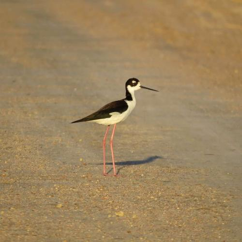 Black-necked Stilt Quivira NWR - Joe Brewer