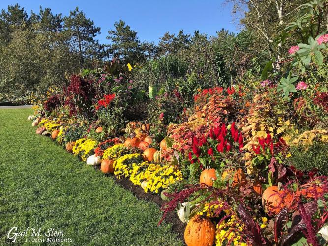 Yellow mums and pumpkins