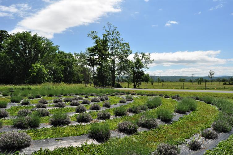 Section of the labyrinth of lavender at Lavenlair Farm