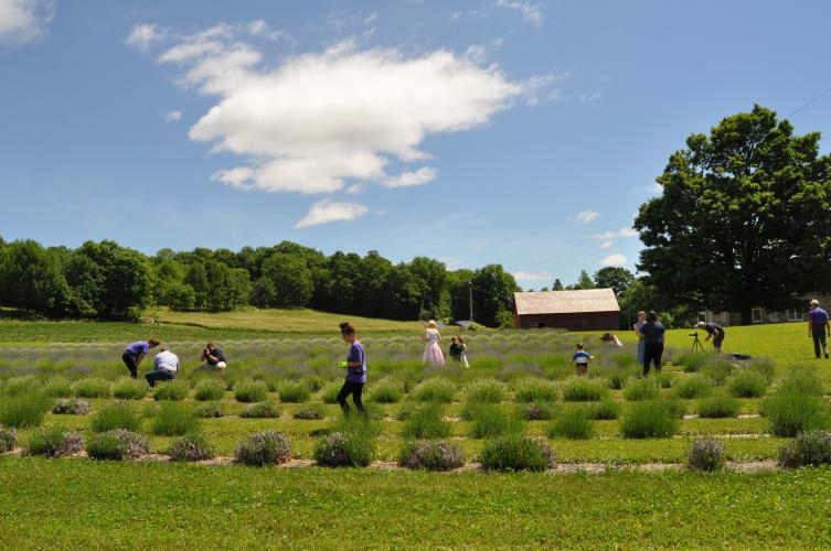 Several people cutting lavender in the rows at Lavenlair Farm