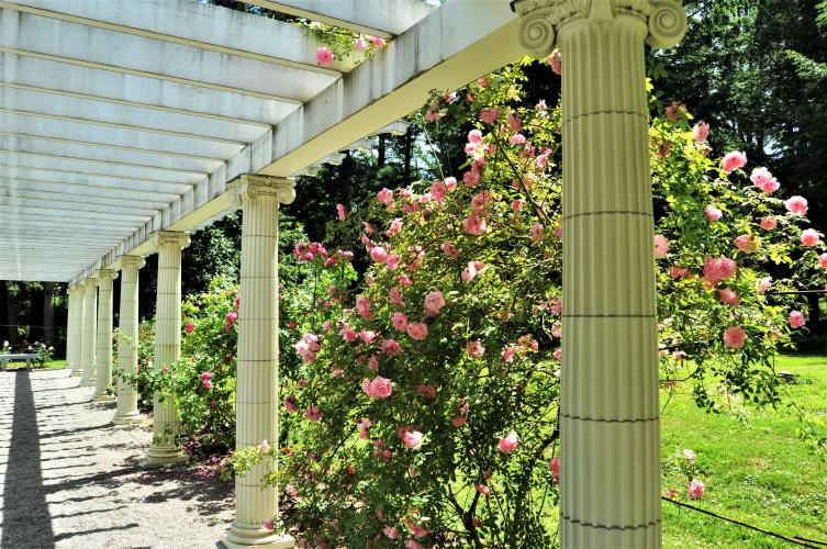 Long view of the pergola at Yaddo Gardens with pink rose bushes.