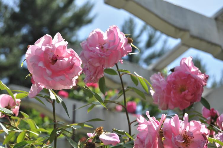 Pink roses at the top of the pergola at Yaddo Gardens